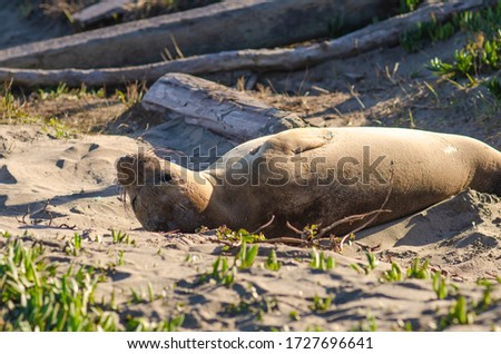 A young elephant seal lies on the beach, Point Reyes, California