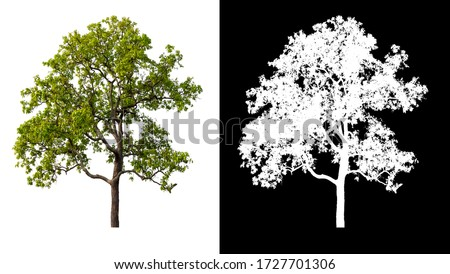 Isolated single tree on white background with clipping path and alpha channel  #1727701306