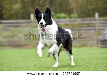 Border collie playing with dog run Royalty-Free Stock Photo #1727726557