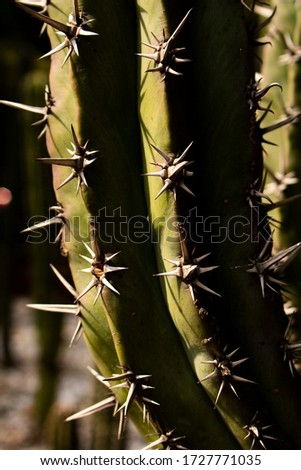 A close up of a cactus which shows its big spines on a vertical format, a typical mexican plant mostly found in the desert. The pic shows something of its defense atributes.