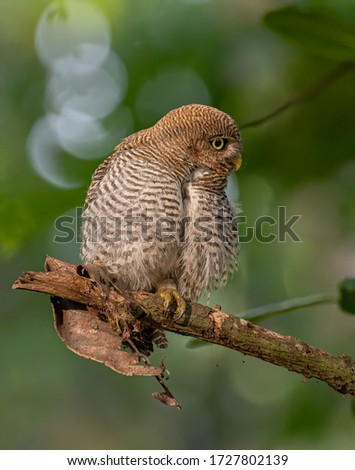 Jungle owlet, barred jungle owlet  #1727802139