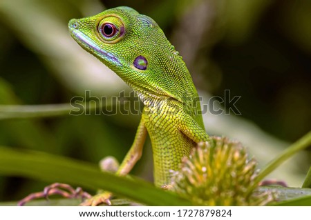 Bronchocela cristatella, also known as the green crested lizard, is a species of agamid lizard endemic to Southeast Asia Royalty-Free Stock Photo #1727879824