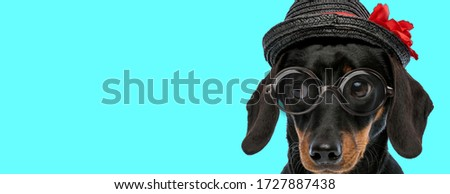 adorable nerdy Teckel dog wearing a black hat with red flower, eyeglasses and looking aside on blue background