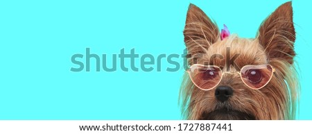 adorable shy Yorkshire Terrier dog wearing heart glasses and hairband, hiding his face from camera on blue background #1727887441