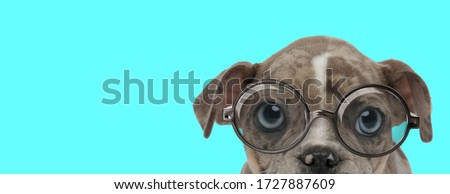 nerdy American Bully dog wearing eyeglasses, sitting and hiding face from camera on blue background