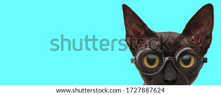 nerdy adorable metis cat looking at camera and wearing eyeglasses on blue background
