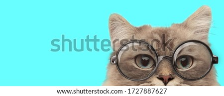 funny nerdy metis cat hiding her face from camera and wearing eyeglasses on blue background