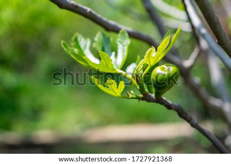 Unripe green fig fig tree. Closeup of young fig on the branch of a fig tree in summer. Green fresh figs with blurred background . #1727921368