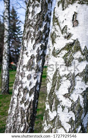 Young birches with black and white birch bark in spring in birch grove against the background of other birches, Trunk of an old birch close-up #1727929546