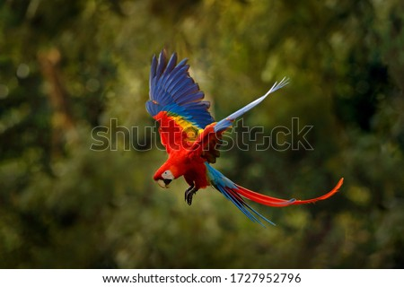 Red macaw parrot flying in dark green vegetation with beautiful back light and rain. Scarlet Macaw, Ara macao, in tropical forest, Costa Rica. Wildlife scene from tropical nature. Red in forest. #1727952796