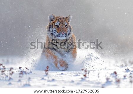 Tiger in wild winter nature, running in the slash snow. Siberian tiger, Panthera tigris altaica. Snowflakes with wild cat. Action wildlife scene with dangerous animal. Cold winter in taiga, Russia.  #1727952805
