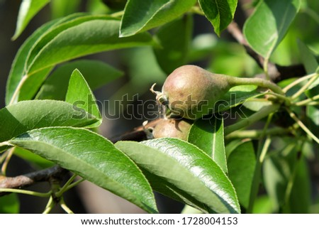 Unripe pear on a branch. Homegrown fruits. #1728004153