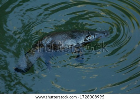 Platypus on the water surface at Eungella National Park in Australia.