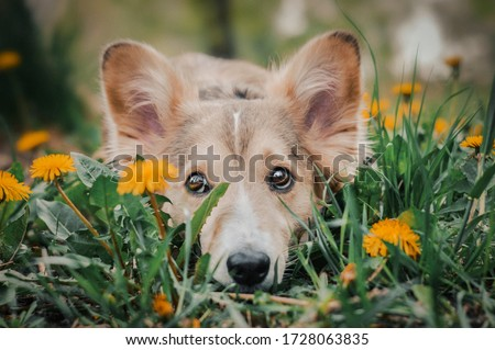 A mixed breed dog laying on the meadow with dandelions Royalty-Free Stock Photo #1728063835