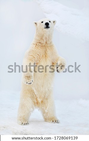 Polar bear stands on its hind legs. Royalty-Free Stock Photo #1728069139