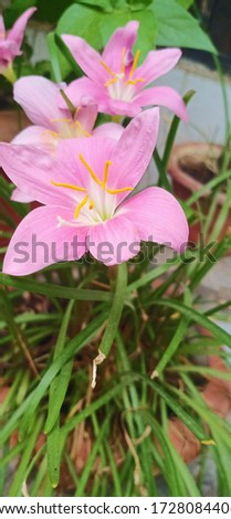 A Picture of Pink Lily