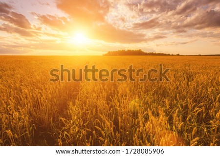 Scene of sunset or sunrise on the field with young rye or wheat in the summer with a cloudy sky background. Landscape. #1728085906