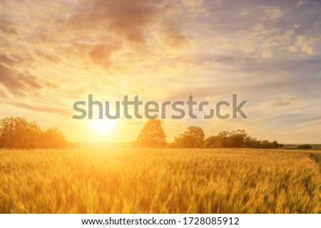 Scene of sunset or sunrise on the field with young rye or wheat in the summer with a cloudy sky background. Landscape. #1728085912