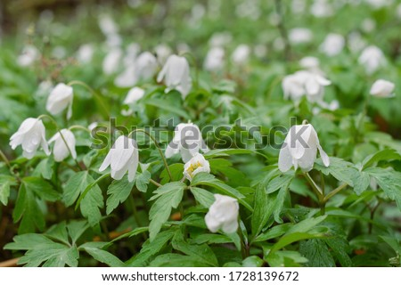 Field of snowdrops. White snowdrops. Snowdrop flowers grow in the forest. Snowdrops after rain. Flowers in the forest. Flowers after rain. Dew on flowers #1728139672