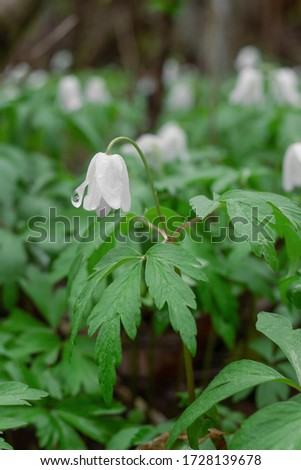 Field of snowdrops. White snowdrops. Snowdrop flowers grow in the forest. Snowdrops after rain. Flowers in the forest. Flowers after rain. Dew on flowers #1728139678