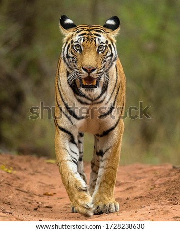 This is a picture of a tiger running in Ranthambore National Park Rajasthan.