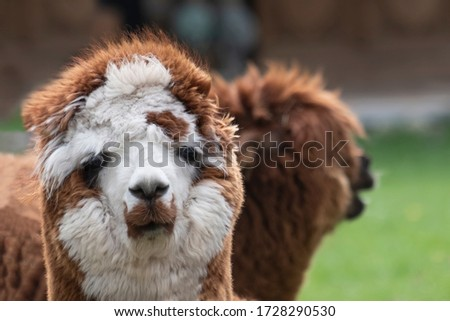 brown white Alpaca, in front of a brown alpaca. Selective focus on the head of the brown white alpaca, photo of head. #1728290530