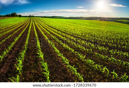 Agriculture shot: rows of young corn plants growing on a vast field with dark fertile soil leading to the horizon #1728339670