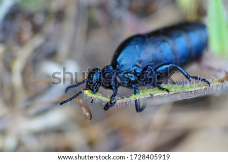 Macro pic of a black oil beetle (Meloe proscarabaeus)  chewing on a blade of grass