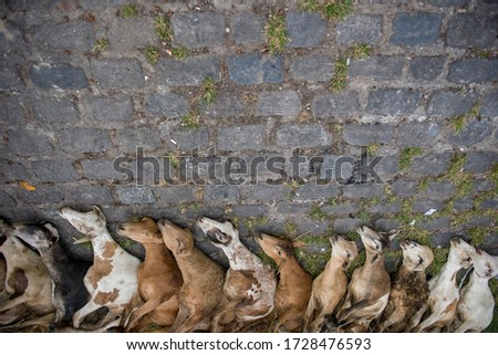 Tied goats in row in front of Amazon River ready to be sold #1728476593