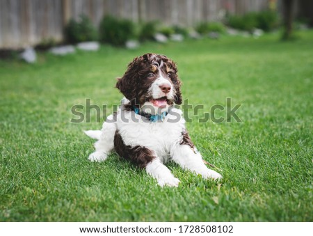 Adorable bernedoodle puppy laying on the grass in a backyard. #1728508102