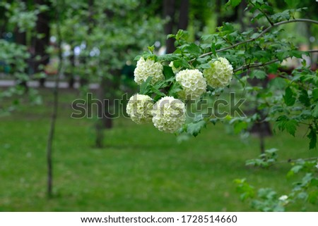 Ornamental shrub Buldenezh in a city park in spring. Flowering branches of Buldenezh plant close-up. Beautiful white flowers to decorate the garden. #1728514660