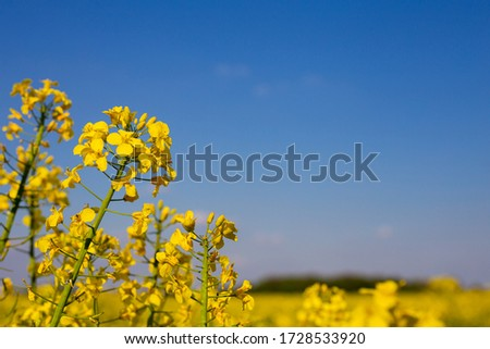 Yellow rape oil flowers over the blue sky #1728533920
