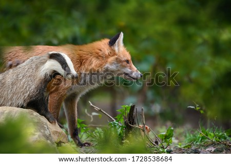 Red Fox, Vulpes vulpes and badger, beautiful animal on green vegetation in the forest, in the nature habitat. Wildlife nature, Europe #1728538684