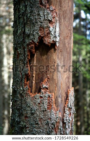 Dead spruce (Picea) through infestation of bark beetles (Scolytinae) in the Black Forest, Baden-Wuerttemberg, Germany, Europe #1728549226