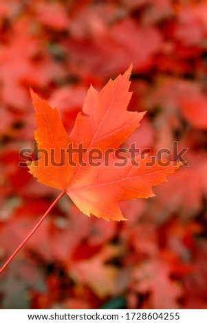 Vadnais Heights, Minnesota. A beautiful picture of a maple leaf  in the fall.