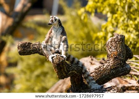 Madagascar lemur Katta sits on a snag #1728697957