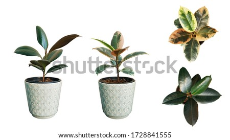 rubber plant at isolated on white background. #1728841555