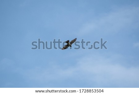 A picture of a sharp-shinned hawk flying in the sky.   Vancouver  BC  Canada