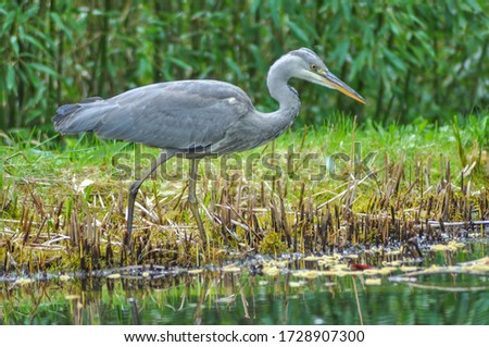 A grey heron (Ardea cinerea) in the wild. The grey heron ist a tall and long-legged predatory bird. Herons (Ardeidae) are native in most areas of our planet. #1728907300