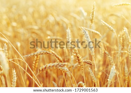 Rural scenery. Background of ripening ears of wheat field and sunlight. Crops field. Selective focus. Field landscape.