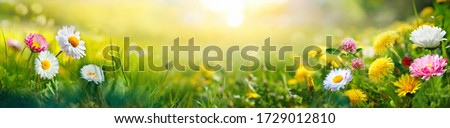 Beautiful summer natural background with yellow white flowers daisies, clovers and dandelions in grass against of dawn morning. Ultra-wide panoramic landscape,  banner format. Royalty-Free Stock Photo #1729012810