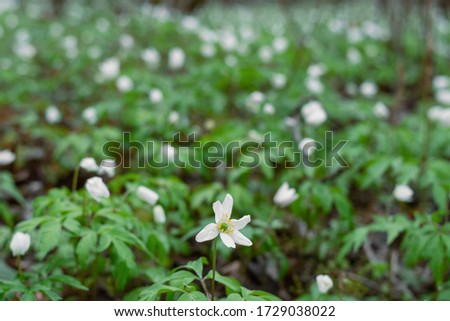 Field of snowdrops. White snowdrops. Snowdrop flowers grow in the forest. Snowdrops after rain. Flowers in the forest. Flowers after rain. Dew on flowers #1729038022