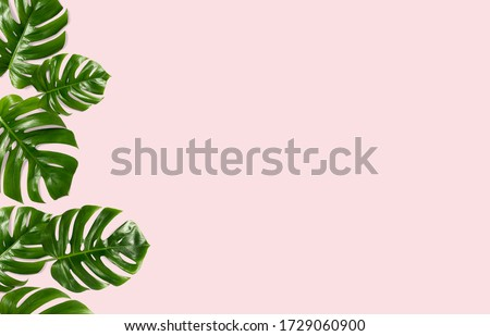 Tropical leaves Monstera on a pink  background for designs. Summer Styled. High quality image. Top view #1729060900