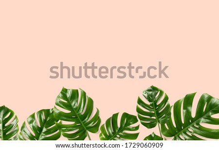 Tropical leaves Monstera on a orange  background for designs. Summer Styled. High quality image. Top view #1729060909