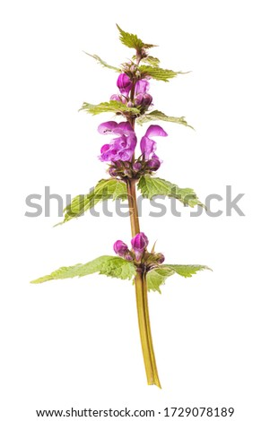 Untitled wildflower with purple buds isolated on white background #1729078189
