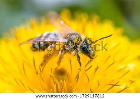 beautiful bee on a flower in yellow is very close Royalty-Free Stock Photo #1729117612