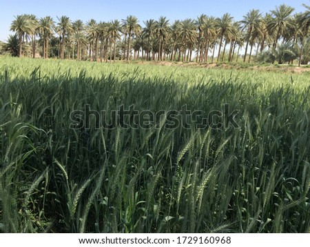 green wheat plants field and date's palm trees behind  #1729160968