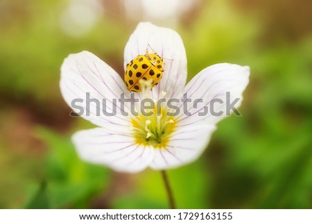 A small white flower grows in a forest. A yellow ladybug sits on a flower. Cute summer picture. Detailed macro photo. The concept of spring, summer, wildflowers, insects.