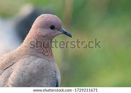 Oriental Turtle Dove portrait picture