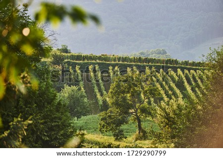 Alsatian landscapes: View of a tree surrounded vineyards near Eguisheim (Haut-Rhin department, Grand Est region, France). #1729290799